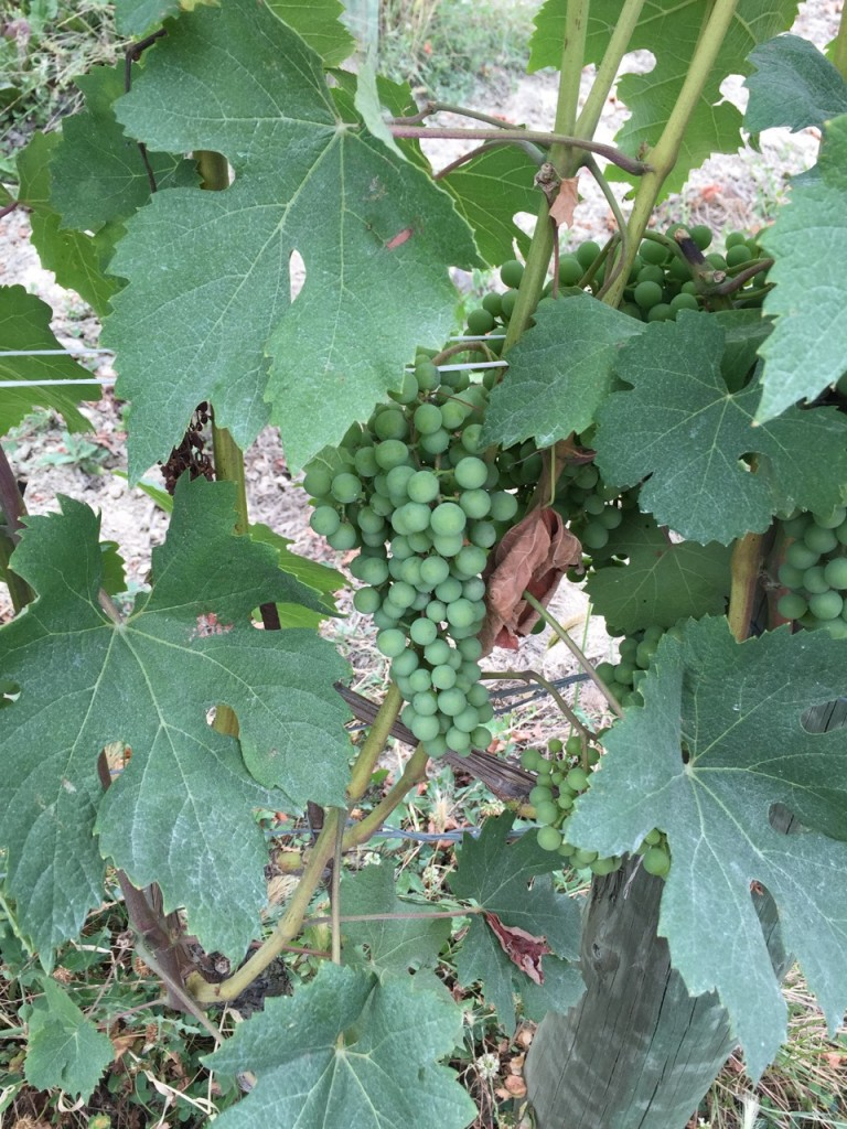Nebiolo Grapes Alberto Voerzio Vineyard