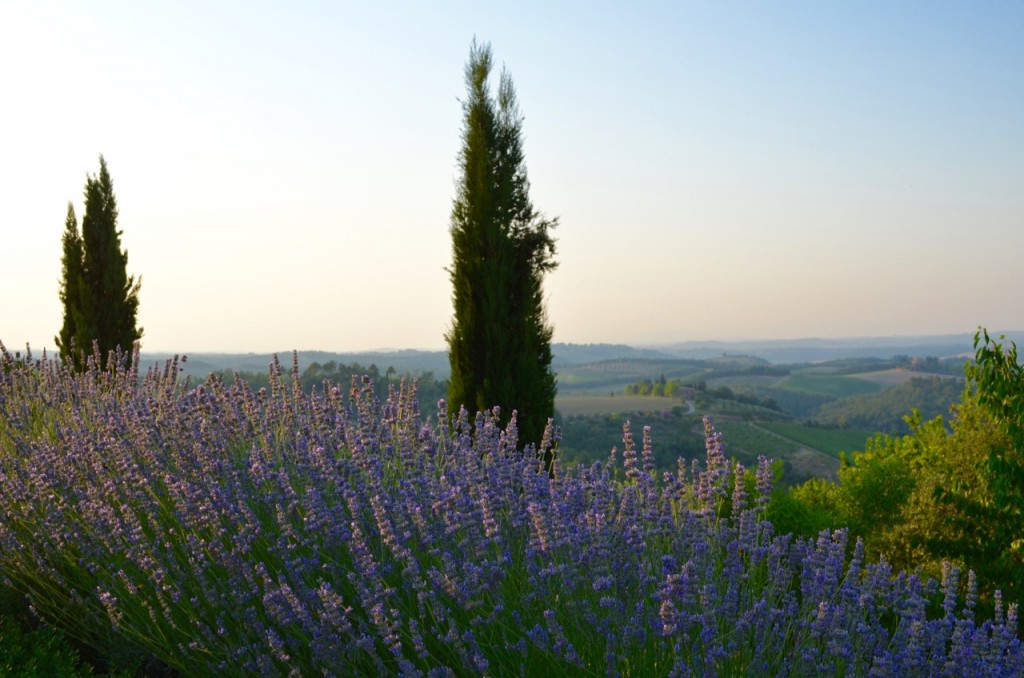 Tuscany Cypress and Lavender