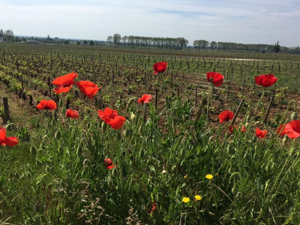 Poppies growing near Burgundy vineyards