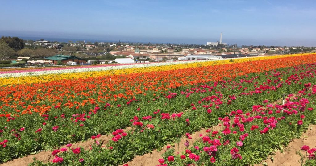 Carlsbad flower fields and ocean